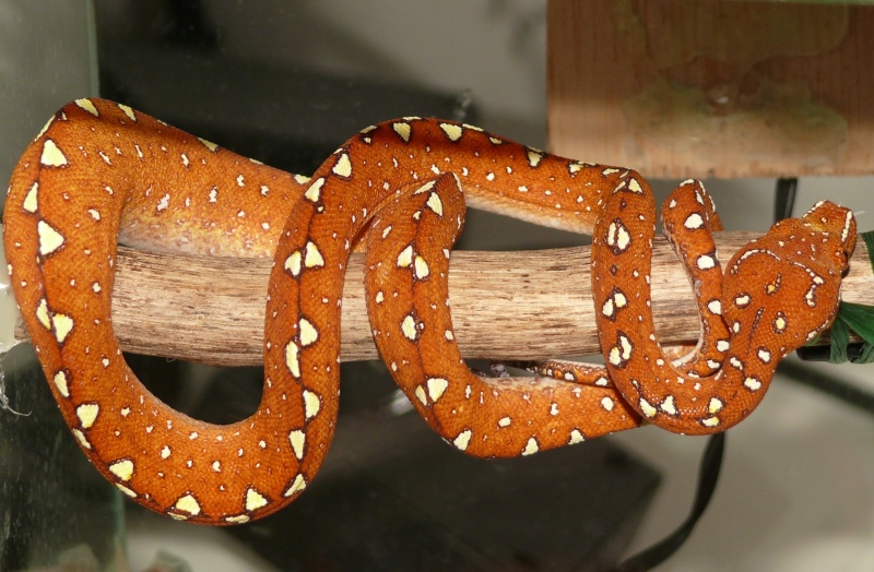 Morelia viridis Biak 2014 P1080518