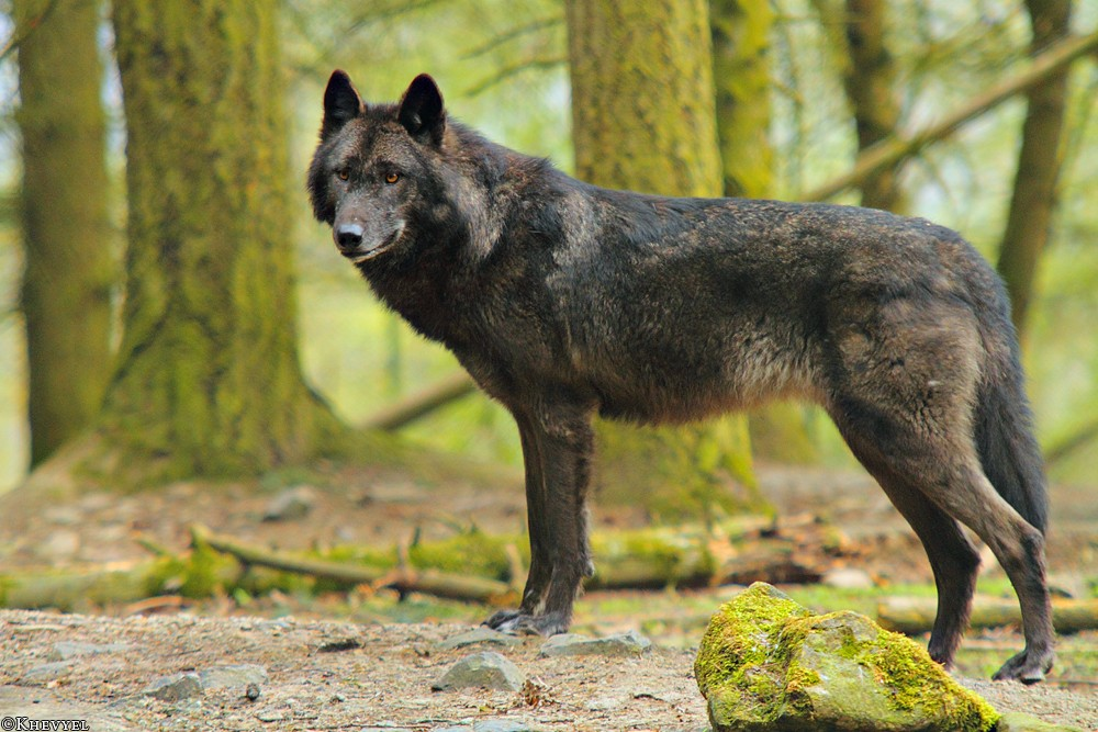 Boutique spéciale scénario n°19 Wolf_e12