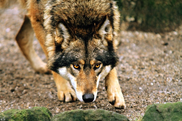 Le coucou d'après Sarkan Wolf_m12