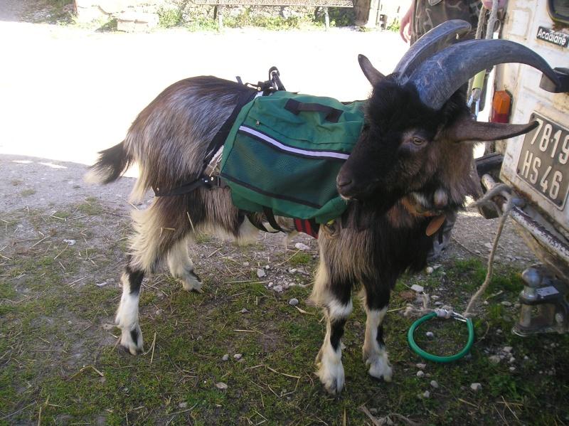 [Faune / nomadisme ] Chèvre de bât P1010110