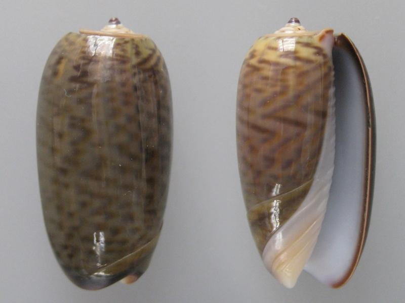 Viduoliva neostina (Duclos, 1840) Img_9312