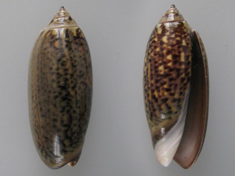 Oliva tigridella (Duclos, 1835) Img_9410