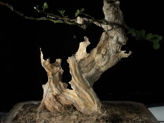 preliminary carving bougainvillea stump Carvin10