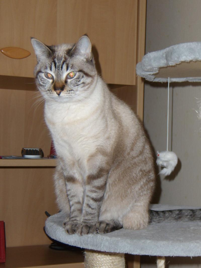 Hildegarde, femelle tigrée crème née en avril 2012 P2180010
