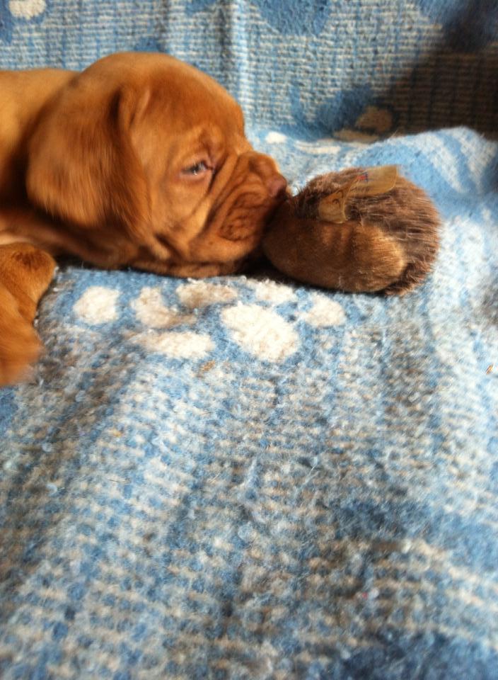 Chiots dogues de Bordeaux LOF 10566410