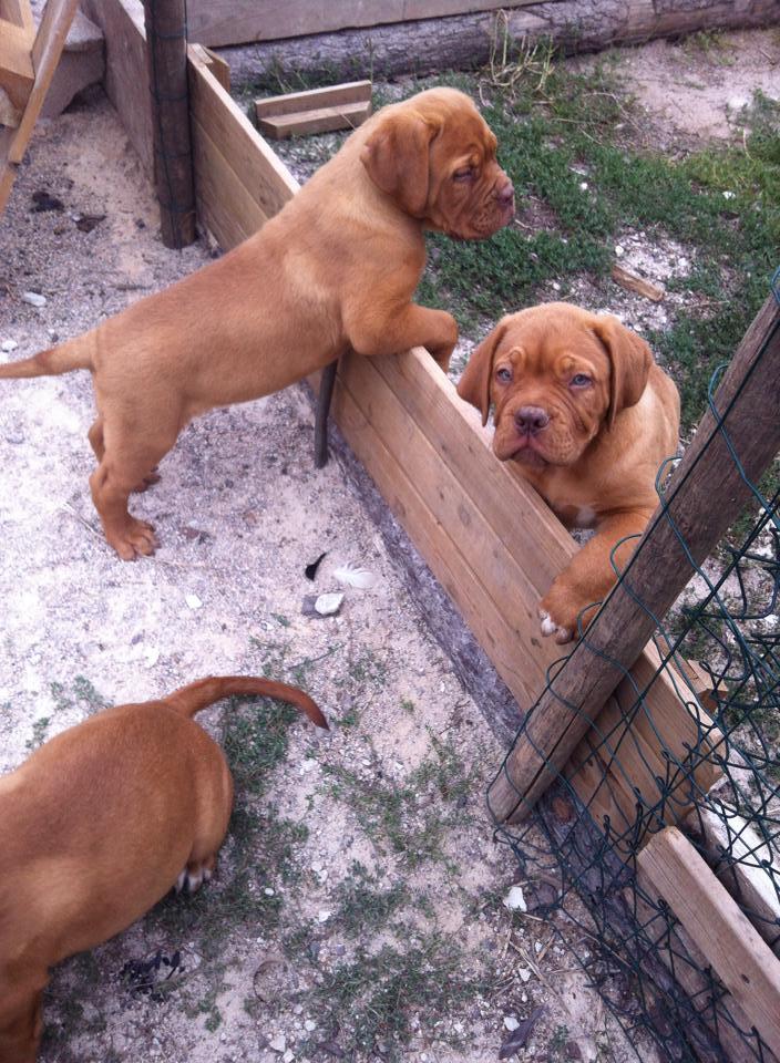 Chiots dogues de Bordeaux LOF - Page 2 10622311