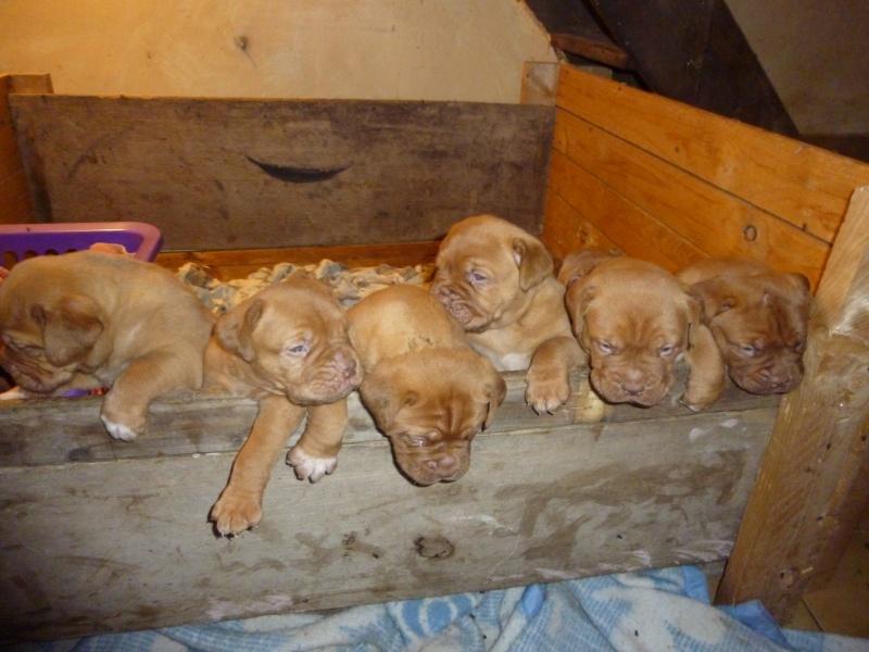 Chiots dogues de Bordeaux LOF P1010411