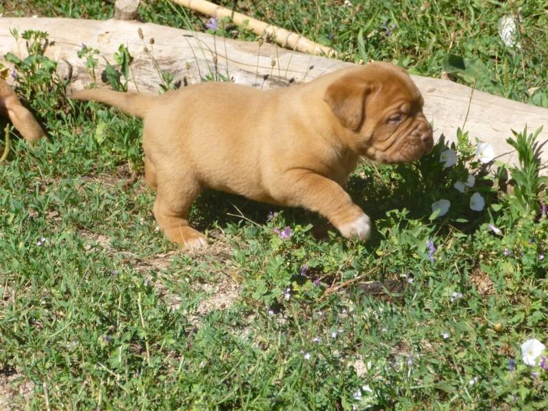 Chiots dogues de Bordeaux LOF P1010512