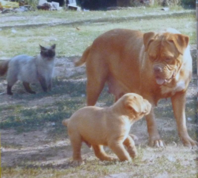 Chiots dogues de Bordeaux LOF - Page 2 P1020010