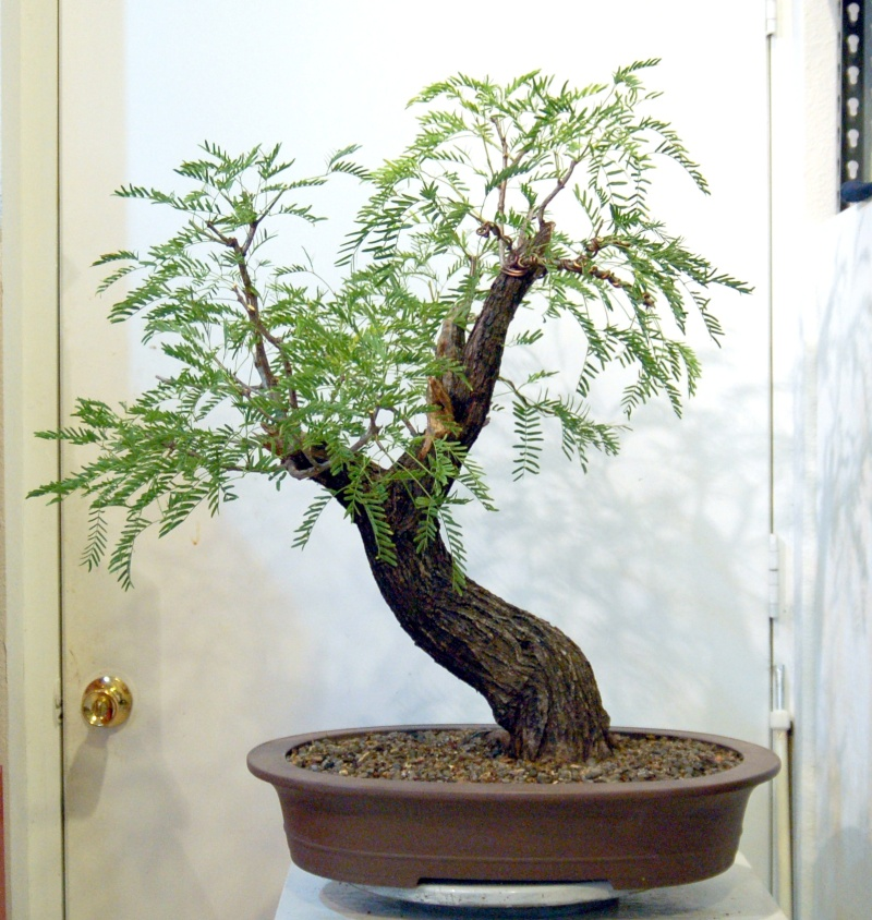 any one else doing any Mesquite Bonsai out there?  Dsq_0010