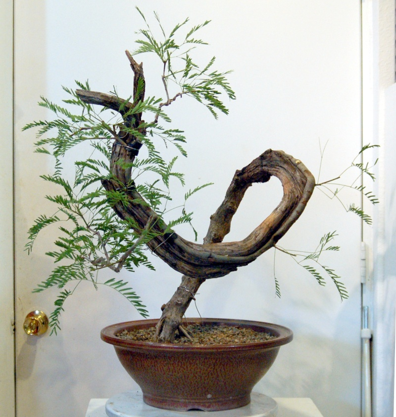 any one else doing any Mesquite Bonsai out there?  Dsq_0011