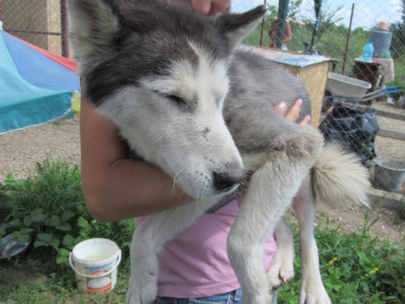 LUNA Husky 4/5 ANS pas ok chien URGENCE ROUMANIE  ADOPTEE 10547410