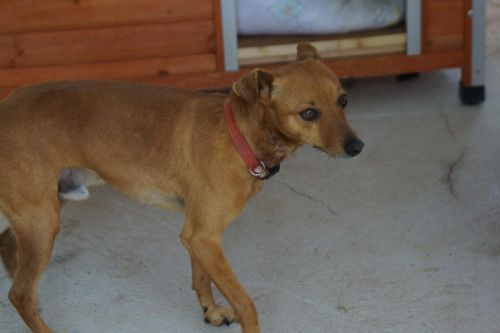Adoption Elton pinscher 4 ans fauve (83 ) 500_0b10
