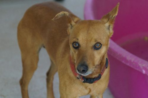Adoption Elton pinscher 4 ans fauve (83 ) 500_2a11