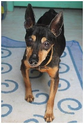 Adoption Loli pinscher de 14 ans en refuge (54) 500_ea10