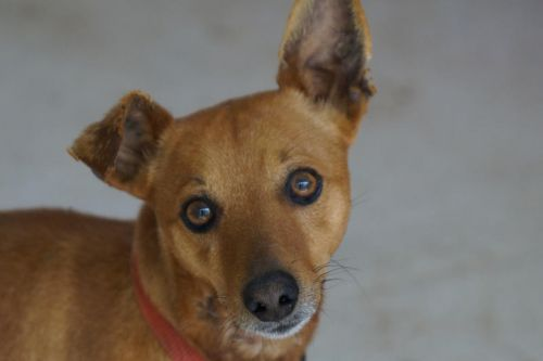 Adoption Elton pinscher 4 ans fauve (83 ) 500_f610