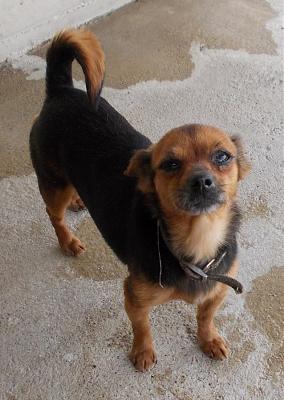 Adoption mamie de 12 ans x pinscher/chihuahua (07)(opération doyen) Dscn1210