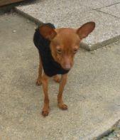 Filou 1kg200 un micro chien (77) Filou_10