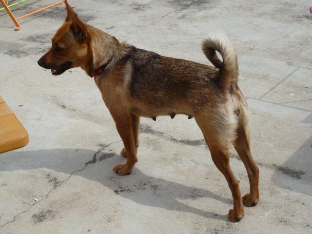 Adoption Hindiana pinscher 1 an et 7 mois (13) P1040510