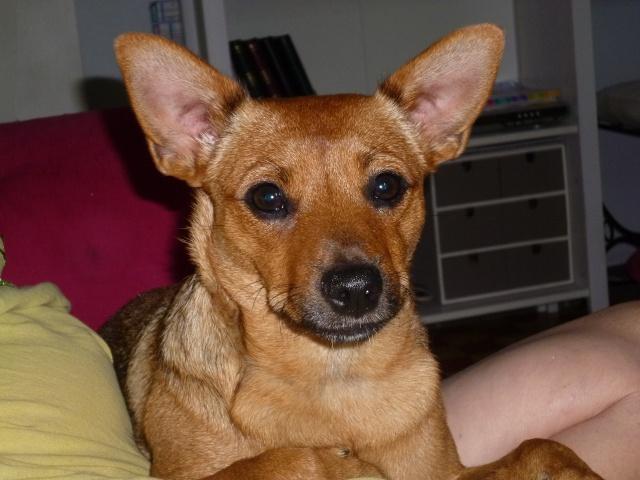 Adoption Hindiana pinscher 1 an et 7 mois (13) P1040610