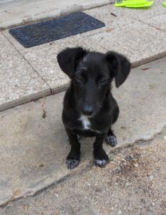 Adoption Pilou x pinscher 9 mois (77) Pilou_10