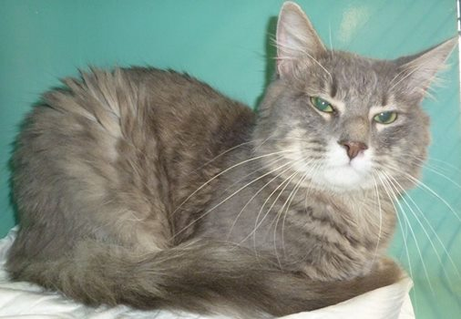 Sheldon, chat male poly fracturé 10164610