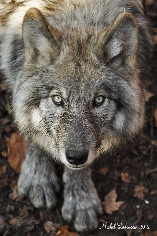 loup gris 81309610