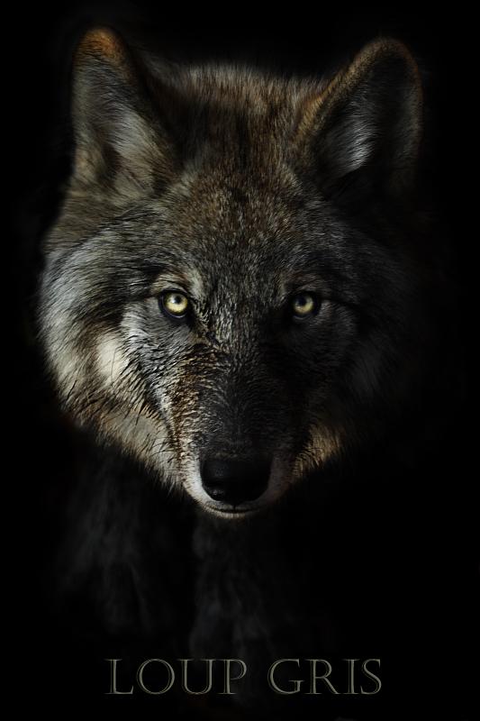 loup gris Loup_g11