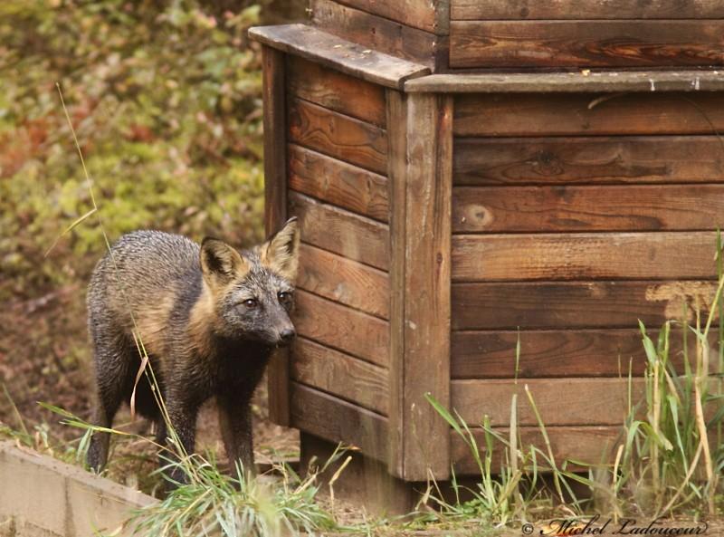 renard roux (croisé) Www111