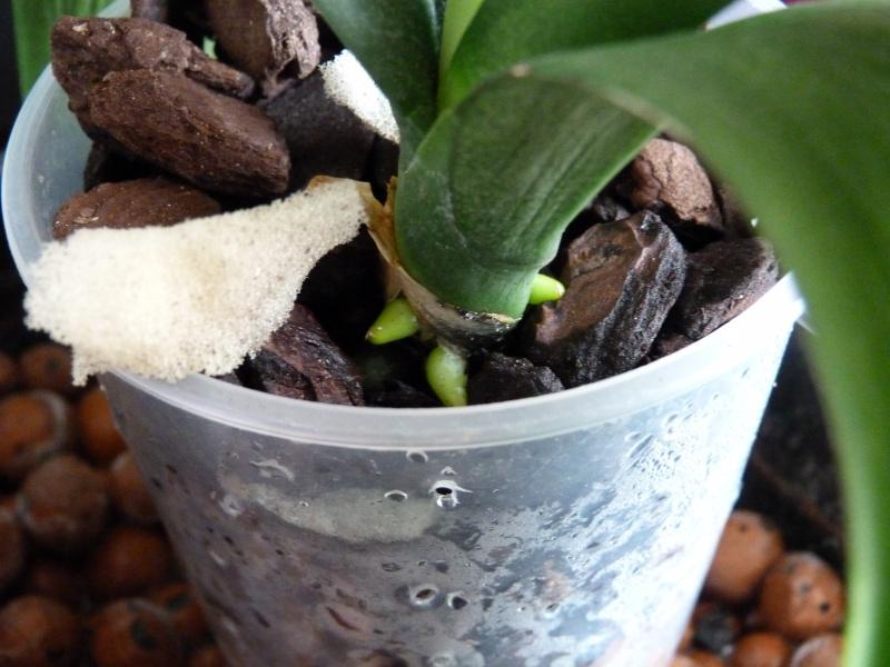 Mon nouveau phalaenopsis - Page 4 P1040032