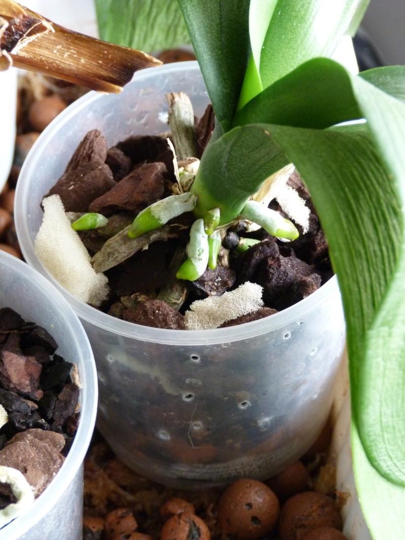 Mon nouveau phalaenopsis - Page 5 P1040046