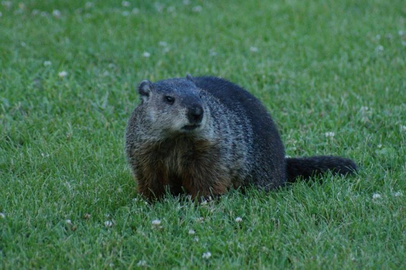Marmotte du Parc Longue20