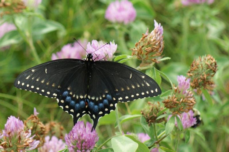 Quel papillon est-ce? Longue35