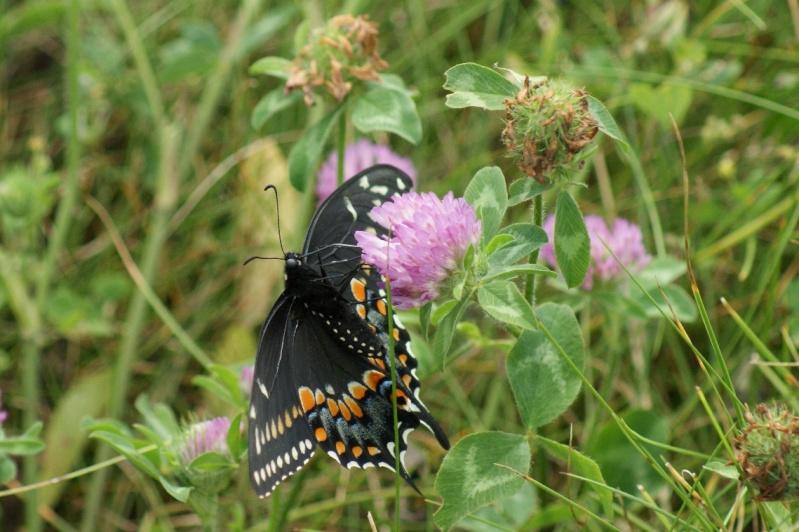 Quel papillon est-ce? Longue36