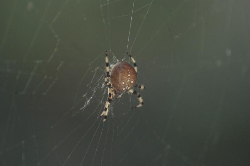 Araignée du Parc Parc_n28
