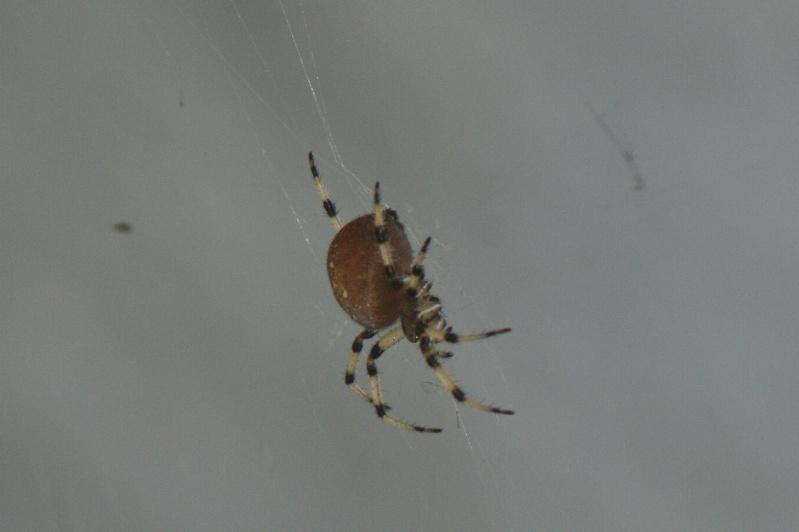 Araignée du Parc Parc_n29