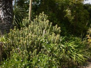 Serre aux cactus de Roscoff - Page 5 Phot1028