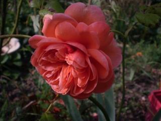 rosier summer song Photo528