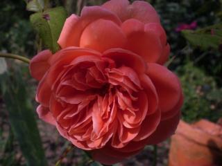 rosier summer song Photo530