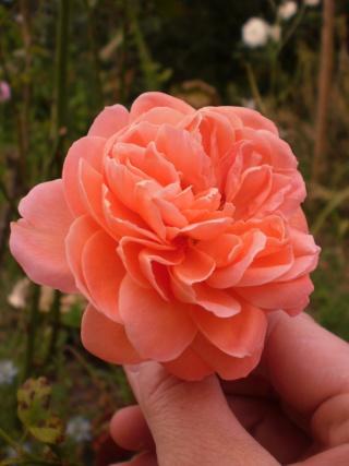 rosier summer song Photo537