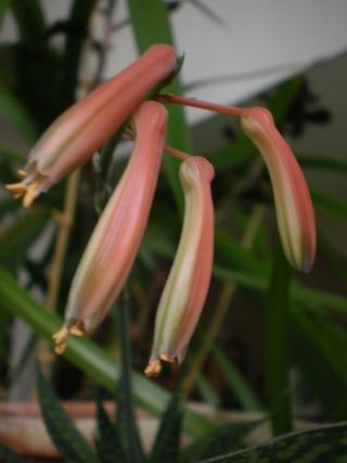 Haworthia attenuata Photo625