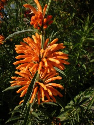 Vue cet été = leonotis leonorus  Photo706
