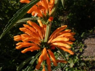 Vue cet été = leonotis leonorus  Photo708