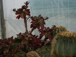 Serre aux cactus de Roscoff Photo941