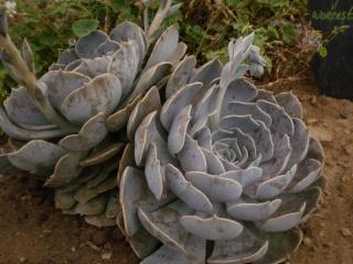 Serre aux cactus de Roscoff Photo942