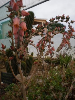 Serre aux cactus de Roscoff Photo943