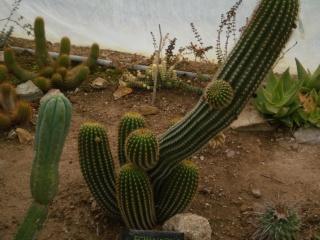 Serre aux cactus de Roscoff Photo946