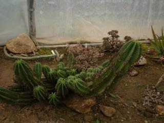 Serre aux cactus de Roscoff Photo948