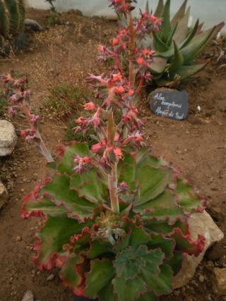 Serre aux cactus de Roscoff Photo950