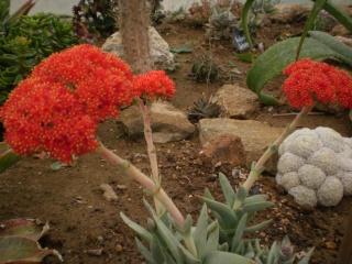 Serre aux cactus de Roscoff Photo953